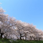 33383694 - cherry blossom viewing picnic