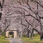 9887832 - arch of sakura blossom