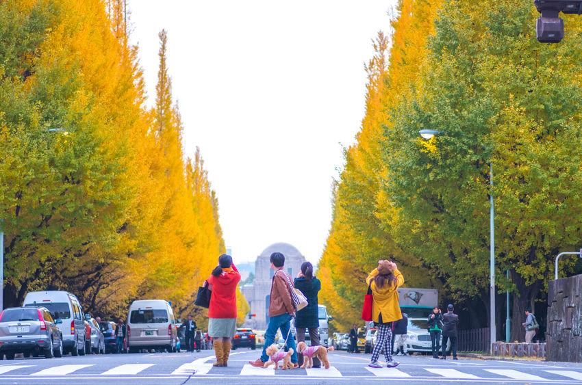 tokyo jingu ginkgo,tokyo(prefectures),tourism of japan