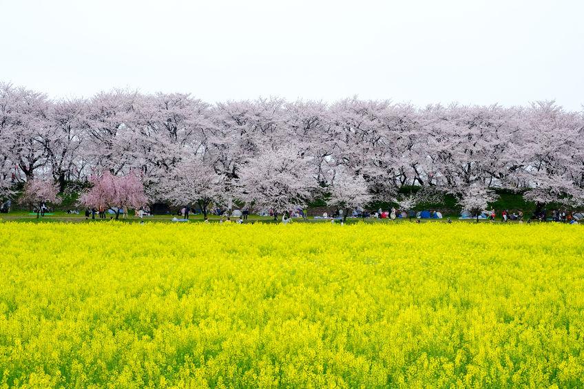2020年 お花見ツーリング埼玉おすすめスポット
